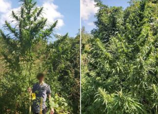 Marihuana Najviše Stablo U Bih